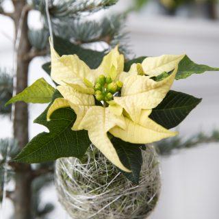 Boule de Noël végétale en Poinsettia