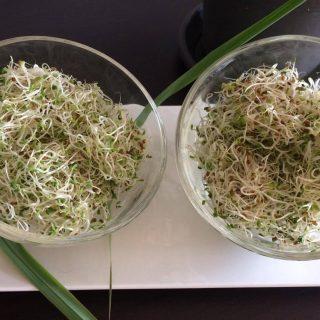 Graines germées d'Alfalfa (la pousse au jour le jour)