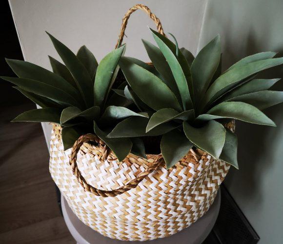 Jolie agave dans mon salon