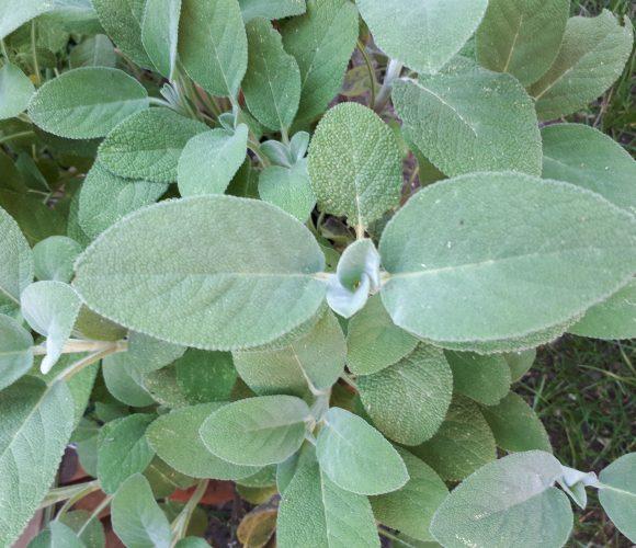 Beignets de feuilles